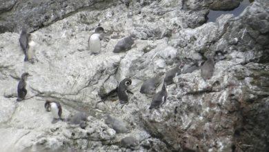 Photo of 491 pingüinos de Humboldt fueron contabilizados en las costas de la región según último censo de CONAF