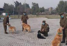 Photo of Carabineros entrena a perritos para detectar a personas contagiadas con Covid-19 con el olfato y así salvar vidas ante esta pandemia