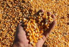 Photo of Argentina podría exportar 7.960 millones de dólares de una nueva cosecha de maíz