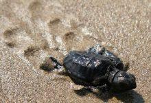 Photo of Hallan plastificantes acumulados en las tortugas del Mediterráneo