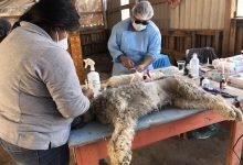 Photo of Comenzó esterilización de mascotas en el sector poniente de Calama